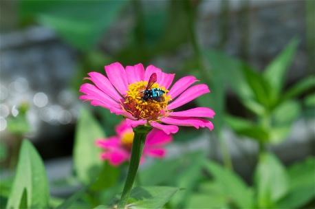 Bali's beautiful blue bees