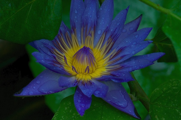 Beautiful water lilies in the pond